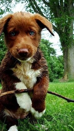 border collie and australian shepherd mix Cute Puppies, Cute Dogs, Funny Dogs, Brown Puppies, Baby Animals, Cute Animals, Funny Animals, Baby Dogs, Doggies