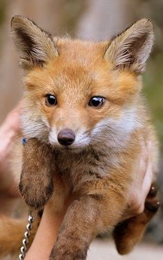 Young fox should not be restricted by a chain. It is,a,wild animal not a domestic animal. Cute Baby Animals, Animals And Pets, Funny Animals, Anime Animals, Animals Images, Beautiful Creatures, Animals Beautiful, Fuchs Baby, Young Fox