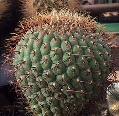 Matucana aureiflora v. elata