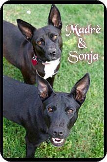 Maumelle, AR - Labrador Retriever/Cattle Dog Mix. Meet Sonja - 101 / 2016, a dog for adoption. http://www.adoptapet.com/pet/15154446-maumelle-arkansas-labrador-retriever-mix