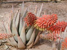 Aloe claviflora - Google Search