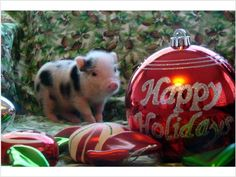 Christmas Pigs.285 Best Christmas Pigs Images In 2019 Mini Pigs This