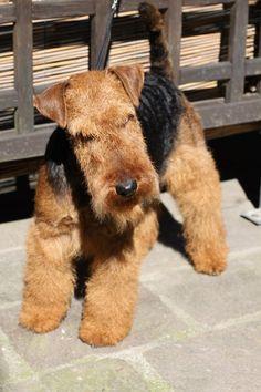 Welsh Terrier my dream dog