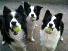 Adorable Border Collies always ready to play as many times as you'll toss the ball