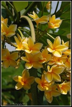 Beautiful colors...plumeria...