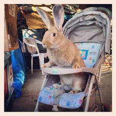 Flemish Giant Rabbit. Coming soon...