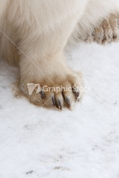 Polar Bear, King Of The Arctic Stock Image