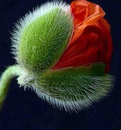 a beautiful poppy coming out of its furry bud':):).