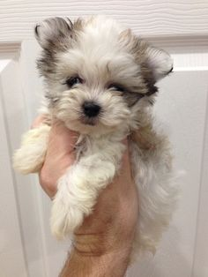 such a cute HavaMalt. Im not normally a small dog person but I love these breeds. Thinking about getting one - My Doggy Is Delightful Small Puppies, Cute Puppies, Cute Dogs, Cute Small Dogs, Cute Baby Animals, Animals And Pets, Pet Puppy, Dog Cat, Yorshire Terrier