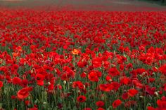 Poppy is the half-yearly plant which is 1 to 4 ft tall. It bears leaves which are up to 4 inches long, heart shaped and wide. It is a medicinal plant too.