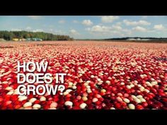 Thanksgiving Science & Social Studies Activities: Cranberry Harvest Video: Go underwater and high overhead to see cranberries as you've never seen them