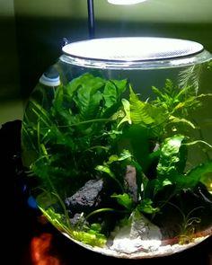 Betta Fish Bowl, Betta Fish Tank, Beta Fish, Aquarium Fish Tank, Fish In A Bowl, Plant Fish Tank, Planted Betta Tank, Mini Aquarium, Small Fish Tanks