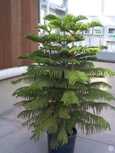 64 Best Norfolk Island Pine Images