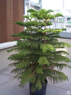 """How to Grow and Care for Norfolk Island Pines, a tropical evergreen tree that is adaptable to indoor conditions. Small trees grown indoors are uniform in appearance and have branches that are parallel to the ground. It is a long-lasting houseplant that grows 3-6"""" annually. Norfolk Island pines grow well in indirect sunlight. They do not tolerate saturated soil. Apply enough water to allow some to drain out, then discard the excess water. They need only be repotted every three to four years."""