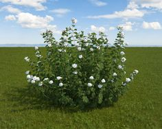 White Snowberry 3D Model .max - CGTrader.com