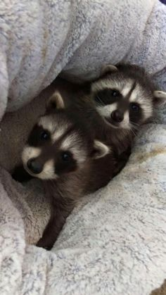 Two orphaned raccoons that were dropped off at our shelter Cute Funny Animals, Cute Baby Animals, Animals And Pets, Strange Animals, Beautiful Creatures, Animals Beautiful, Baby Raccoon, Dibujos Cute, Tier Fotos