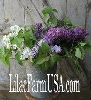 Lilacs - Lilac Farm USA