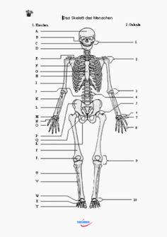 das skelett und die organe des menschen diy anatomie skelett skelett anatomie und anatomie. Black Bedroom Furniture Sets. Home Design Ideas