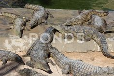 Photograph: Crocodiles bask in the sun, lie on the sand, eat and frolic. Photography Backdrop Stand, Crocodiles, More Photos, Backdrops, Clip Art, Sun, Stock Photos, Business, Animals