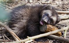 Snack time: One of the wolverine cubs, known for their appetites, gnaws on a piece of wood
