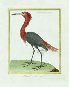 Martinet c1770's: Aigrette rousse de la Louisiane. Reddish Egret