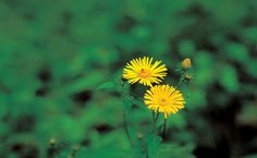 Powerful herb Elecampane good fp\or treating CA and other ailments