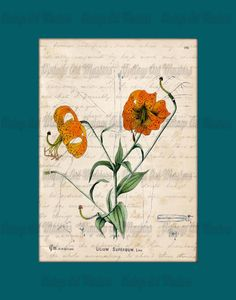 Victorian Flower Illustration  Antique Herbal by VintageArtMasters