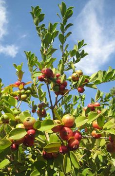 Guava Tree, Vegetables Photography, Pot Plante, Plantation, Grass, Flora, Art, Hass Avocado Tree, Orange Trees