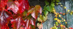 Hera-japonesa - Parthenocissus tricuspidata  Nome Científico:Parthenocissus tricuspidata Nomes Populares:Hera-japonesa, Falsa-vinha, Hera-de-boston, Vinha-virgem Família:Vitaceae Categoria:Trepadeiras Clima:Equatorial,Oceânico,Subtropical,Temperado Origem:Ásia,China,Coréia do Norte,Coréi... - http://www.precofacil.com/ecoblog/2017/08/21/hera-japonesa/