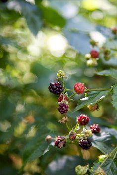 Berry Picking, Summer Dream, Blackberry, Summertime, Berries, Fruit, Dreams, Summer, Blackberries