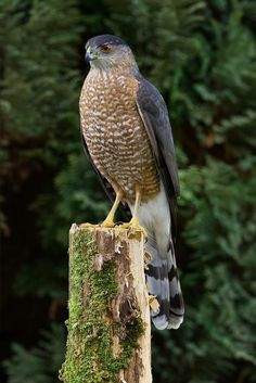 Coopers Hawk: Its rounded wings and long tail, which acts like a rudder on a ship, help the bird to maneuver through tight spots – such as a tangle of branches – to get at its quick moving prey. Cooper's Hawk, Hawk Bird, Raptors, Love Birds, Beautiful Birds, Bird Sightings, Backyard Birds, Big Bird, Birds Of Prey