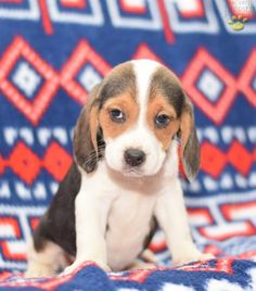 Lilly - Beagle Puppy for Sale in Millersburg, OH | Lancaster Puppies