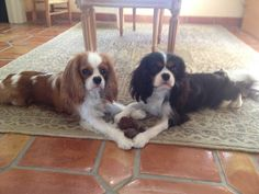 My Cavalier King Charles Spaniels want to wish you a Happy Valentine's Day!