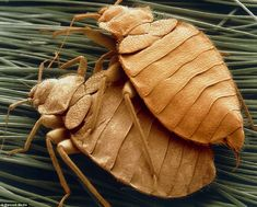 Two bed bugs mating: Up to a third of the weight of your pillow could be made up of bugs, dead skin, dust mites and their faeces
