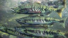 li-chum-salmon.jpg (620×349)