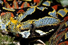 Rhino Viper - Beautiful but packing some of the longest fangs in the snake world, sporting sinister twin horns on its nose, and carrying a devastatingly venomous bite.