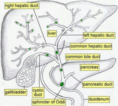Primary Biliary Cirrhosis -  although the cause of this serious condition is not known, it has many features to suggest that it is an autoimmune disease. Autoimmunity describes the process whereby the body's defense mechanisms are turned against itself. The immune system is supposed to recognize and attack only dangerous foreign invaders like germs, but many times it attacks, for no apparent reason, the cells of the body itself. Autoimmune reactions occur in many different tissues of...