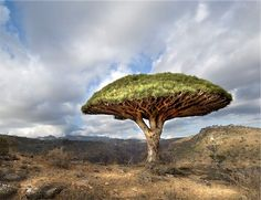 The Dragon Tree (Dracaena cinnabari) is a rare subtropical tree that is endemic to Canary Islands, Madeira & Cape Verde, where only a few specimens can be found growing naturally on the islands of Tenerife and La Palma. Typically it is found in dry bush at the low elevations of the islands' rocky mountain ranges.