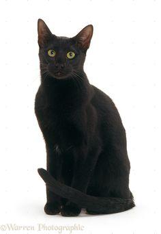 22204-Black-Oriental-cat-sitting-white-background.jpg (761×1104)