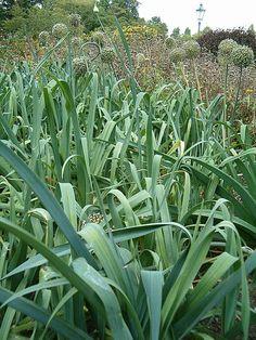 Pór zahradní (lat. Allium porrum) je rostlinou z čeledi amarylkovitých (lat. Amaryllidaceae). Patří do botanického rodu česnek, stejně jako její blízcí příbuzní česnek a cibule. Pór zahradní a jeho letní, podzimní i zimní odrůdy byly vypěstovány z divokého druhu Allium ampeloprasum.