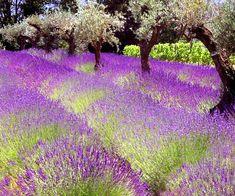 en Provence : olivie