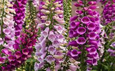 foxglove-flower-spires-self-seeding-cottage-plants Foxglove thrives in shade and flowers every year. Low maintenance.