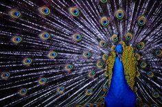 Aquí puedes descargar gratis esta bonita imagen de un animal majestuoso: el pavo real. > http://imagenesgratis.eu/imagen-de-un-pavo-real/