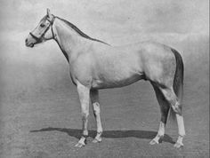 Mahmoud. Winner of the 1936 Epsom Derby, this beautiful grey was to become one of the top sires of broodmares in the 20th century. Mahmoud's daughters Grey Flight, Almahmoud (the grandmother of Northern Dancer), Majedah and Happy Mood would be influential broodmares of some of the great horses of recent time.
