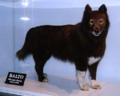 Balto - the real doggie hero, sad that they stuffed him
