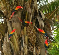 belize please. Parrots in Belize are as common as the small birds in Cali