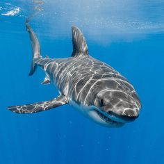 Great White Sharks — georgeprobst: A male great white shark...