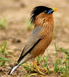 Jalak brahmana/brahminy starling