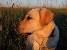 Sunny #hunde #welpe #dog #puppy #labrador