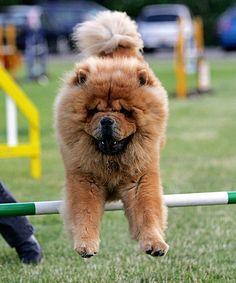 Name; Clifford, Breed: Chow Chow